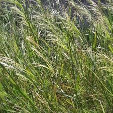 ORYZOPSIS MILIACEA SEEDS (Perennial mountain rice, Bamboo ...