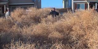 Small Picture Colorado Tumbleweed Problem Is No Joke We Cant Get Out Of Our