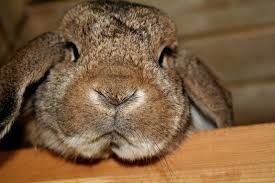 grumpy bunny rabbit