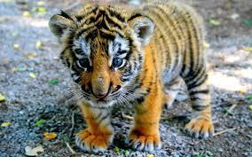 cute baby tiger. Simple Cute Tigerbaby With Cute Baby Tiger Y