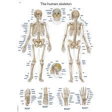 Human Bone Chart The Human Skeleton Anatomical Chart