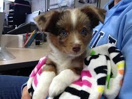 baby australian shepherd.  Shepherd I Work At A Car Dealership And This Baby Australian Shepherd Showed Up In Baby E