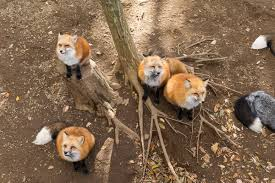 foxes in garden what you need to know