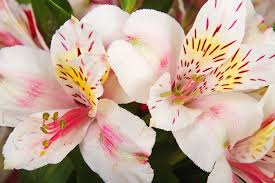 peruvian lilies photograph flowers white and pink color print by james bo insogna flowers that look like lilies o58