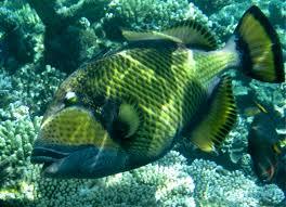 triggerfish bite.  Triggerfish Titan Triggerfish  Inside Bite G