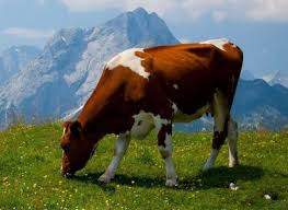 essay on cow in hindi language गाय पर निबंध nibandh  essay on cow in hindi essay on cow in hindi essay on cow in hindi essay on cow in hindi