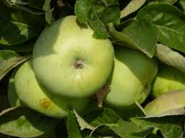 green apple fruit tree. apple tree branch plant fruit flower food green produce autumn garden healthy eat delicious nutrition vitamins