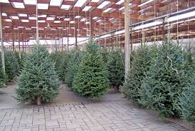 Christmas Trees For Sale Free Stock Photo - Public Domain Pictures