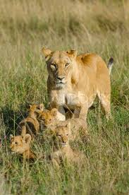 lioness and 4 cubs. Beautiful Lioness Throughout Lioness And 4 Cubs