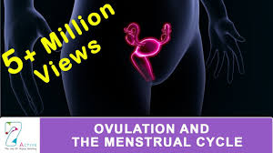 Ovulation The Menstrual Cycle