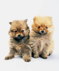 can you breed brother sister pomeranian dogs