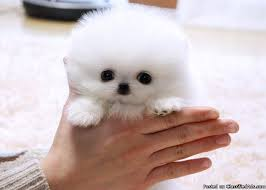 teacup pomeranian puppies for sale. Simple For Tiny Teacup Pomeranian Puppies For Adoption To Sale