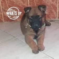 Puppy Growth Chart Eva Berger Malinois Female