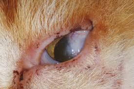Gestion chirurgicale d'un entropion de la paupière inférieure chez un chat