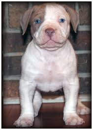 male a bully pit bull puppy and puppies for in pensacola florida