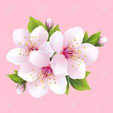 Tak Van Wit Bloeiende Sakura Japanse Kersenboom Mooie Roze