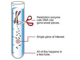 Restriction Enzyme Restriction Enzymes View Specifications Details By Orange