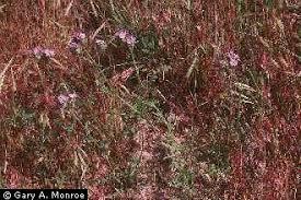 Plants Profile for Phacelia tanacetifolia (lacy phacelia)