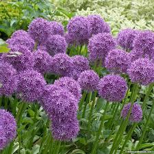 average american flower size globemaster allium american meadows
