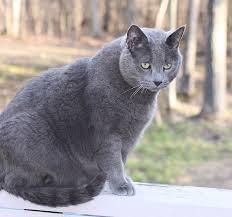Резултат со слика за Blue-Gray Cats