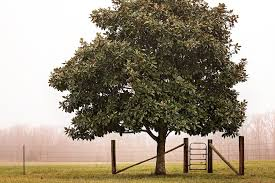 farm fence gate. Brilliant Gate Fence Gate Magnolia Tree Fog Farm And Farm Fence Gate