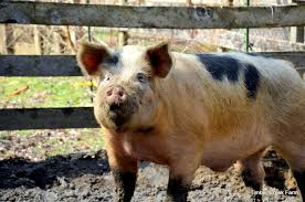 A Pig Feeding Guide For Raising Hogs Countryside
