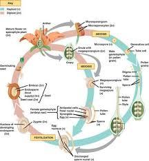 Angiosperm Vs Gymnosperm Venn Diagram Angiosperm Life Cycle Diagram Unlabeled Complete Wiring Diagrams