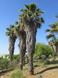 Washingtonia - Wikipedia
