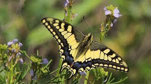 <b>Махаон</b> (Papilio machaon) - Swallowtail - YouTube