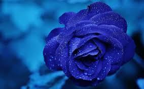 beautiful rose hd wallpaper chrome