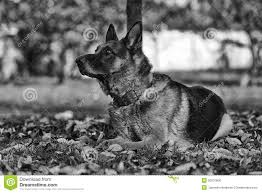 black and white german shepherd photography. Fine White Dog German Shepherd Black And White Throughout Photography S