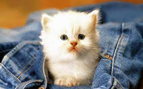 HD Wallpaper for Cute Cat for Android ...