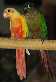 Green Cheek Conure Mutations Page 2 Parrot Forum