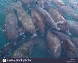 Florida Power And Light Manatee Viewing Riviera Florida Usa 27th Jan 2019 A Large Group Of