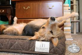 tucker tries out a bwood home dog bed