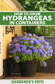 how to grow hydrangeas in containers