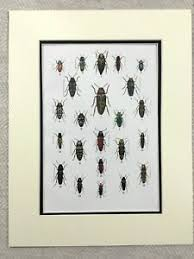 Details About 1924 Print Beetles Bugs Insects Chart Coleoptera Entomology Antique Original