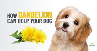 dandelion for dogs much more than a