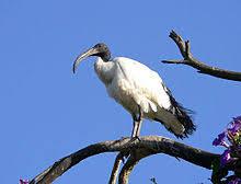 Risultati immagini per ibis