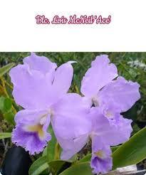 Blc. Louis McNeil - Orchideen der Schwerter Orchideenzucht