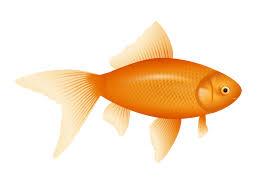 gold fish clip art. Simple Clip Goldfish Clip Art To Gold Fish Clip Art 2