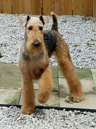 Airedale Weight Chart Akc Breeder Spotlight Linda Jarvis Of Lynaire Airedale Terriers