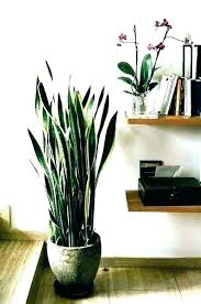 indoor tree low light large house plants low light tall indoor trees ceramic pots for and indoor tree low light best