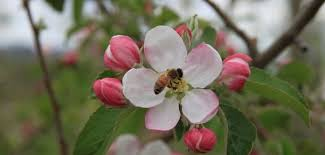Fruit Tree Pollination Chart Pollination Charts Adams County Nursery