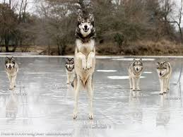 grey wolf size standing tall animals funny wolves grey hd wallpaper animals