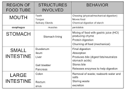 Flow Chart Of Food Through Digestive System Anatomy And