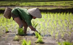 chinese rice field. Simple Rice Chinese Rice Field Inside Chinese Rice Field A