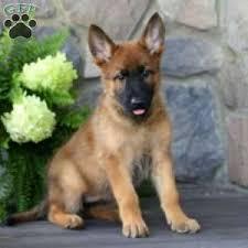 german shepherd golden retriever mix. Simple German A German Shepherd Mix Puppy Named Becky On Golden Retriever N