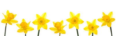 Image result for daffodil border clipart