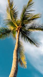 Hd Palm Tree Iphone - 1242x2208 ...